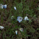 Nemophila-menziesii-baby-blue-eyes-in-meadow-Hwy41-leaving-Yosemite-2010-05-27-IMG 5910