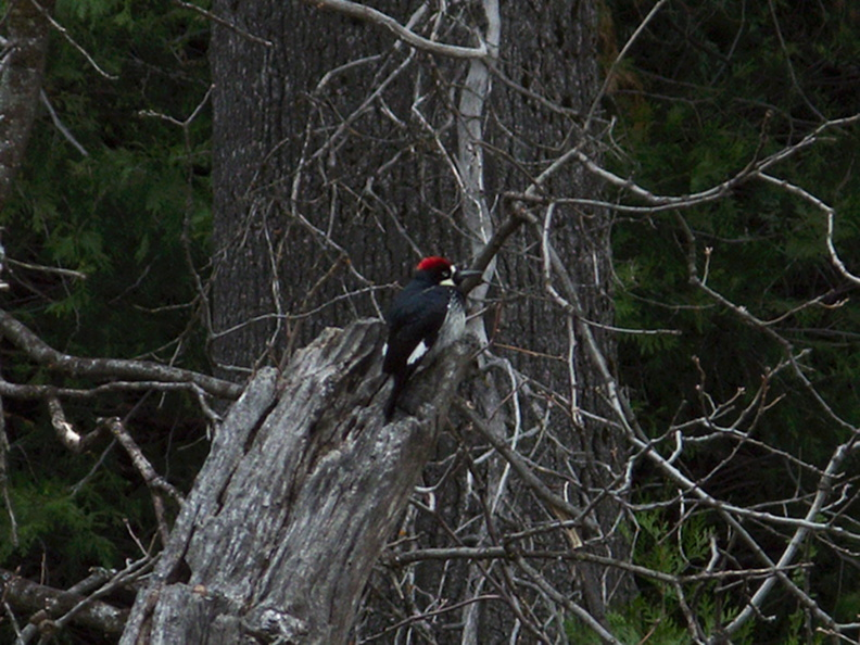 acorn-woodpecker-Yosemite-Valley-2010-05-24-IMG_5611.jpg