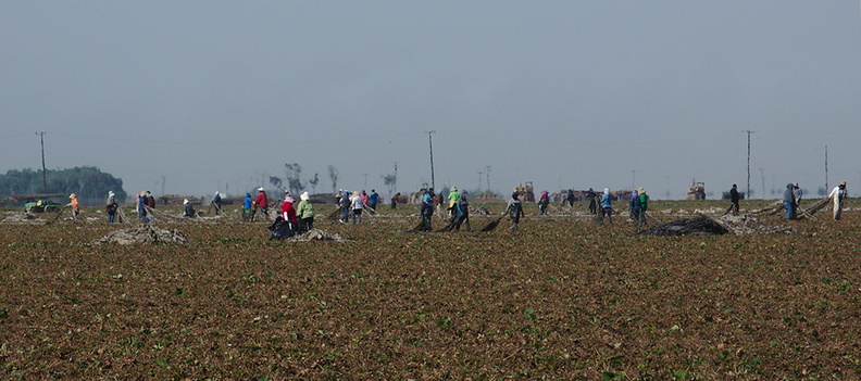 agricultural-workers-pulling-up-plastic-sheeting-from-strawberry-field-2012-07-11-IMG_2211.jpg