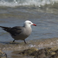 Heermans-gull-Point-Dume-tide-pools-2012-07-02-IMG 5806
