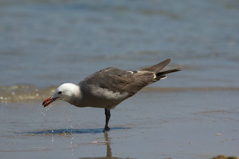 Heermans-gull-Point-Dume-tide-pools-2012-07-02-IMG_5810.jpg