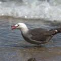 Heermans-gull-Point-Dume-tide-pools-2012-07-02-IMG 5816