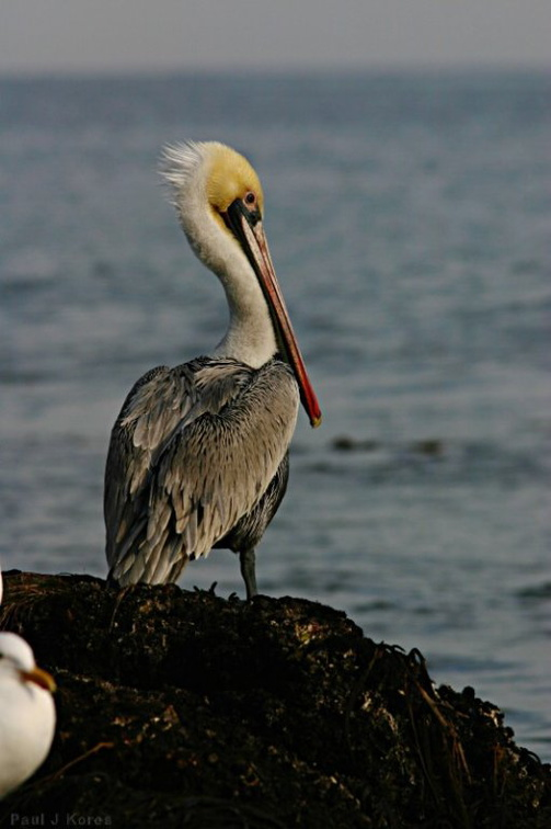 brown-pelican-dume-06