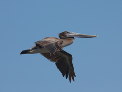 brown-pelicans-flying-Point-Dume-tide-pools-2012-07-02-IMG 5851