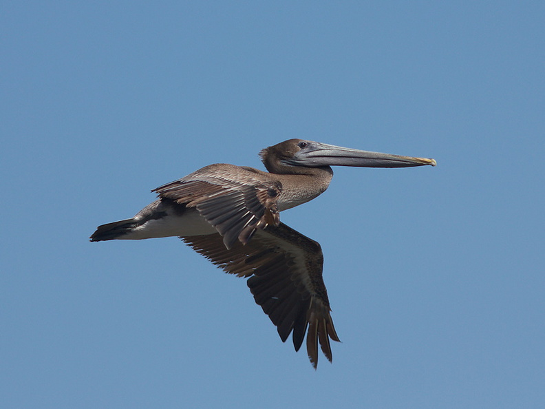 brown-pelicans-flying-Point-Dume-tide-pools-2012-07-02-IMG_5851.jpg