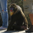 forest-mandrill-Malibu-beach-park-2014-11-06-IMG 4197