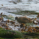 godwit-dume-tide-pools-16