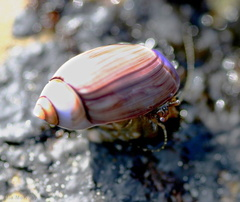 hermit-crab-pink-shell-dume-tide-pools-4