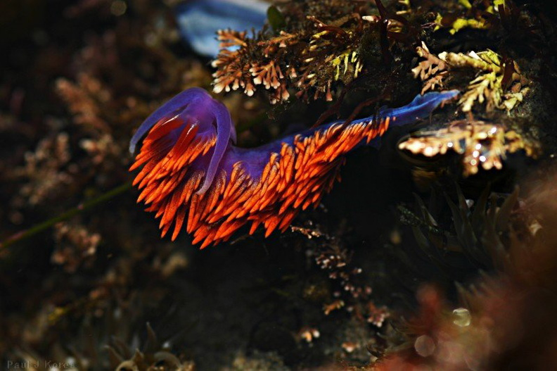 nudibranch-orange-blue-dume-6.jpg