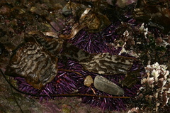 purple-urchins-camouflaged-in-kelp-Pt-Dume-Malibu-2007-12-23-img 5766
