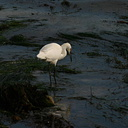 white-heron-yellow-legs-feeding-dume