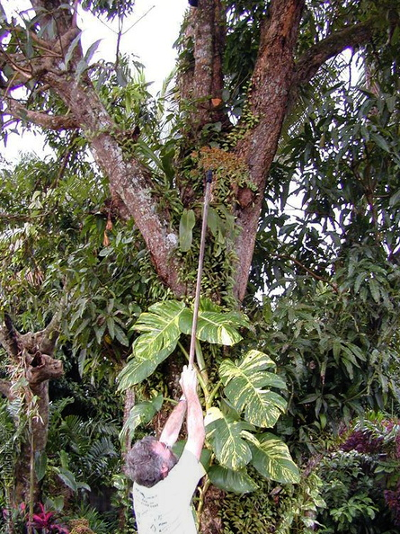 orchid-collecting-Grammatophyllum-Tholo-i-Suva-2000-Nov-Dec.jpg
