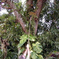 orchid-collecting-Grammatophyllum-Tholo-i-Suva-2000-Nov-Dec