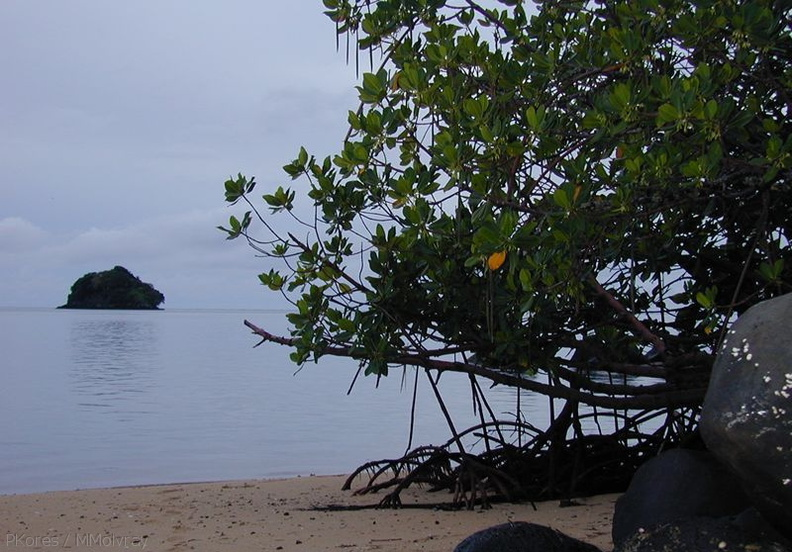 red-mangrove-roots-Taveuni-Des-Voeux-2000-Nov-Dec