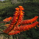 Aloe-sp-arborescens-brilliant-orange-Moorpark-2013-03-05-IMG 0260