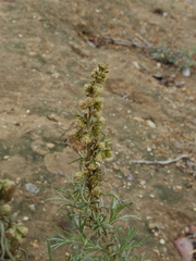 Artemisia-californica-sagebrush-blooming-Moorpark-campus-2014-12-01-IMG 4265.