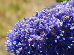 Ceanothus-sp-midnight-blue-near-EATM-Moorpark-College-2013-03-19-IMG 0347