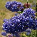 Ceanothus-sp-midnight-blue-near-EATM-Moorpark-College-2013-03-19-IMG 0348