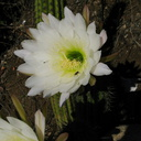 Cereus-blooming-moorpark-parking-lot-2008-12-18-IMG 1638