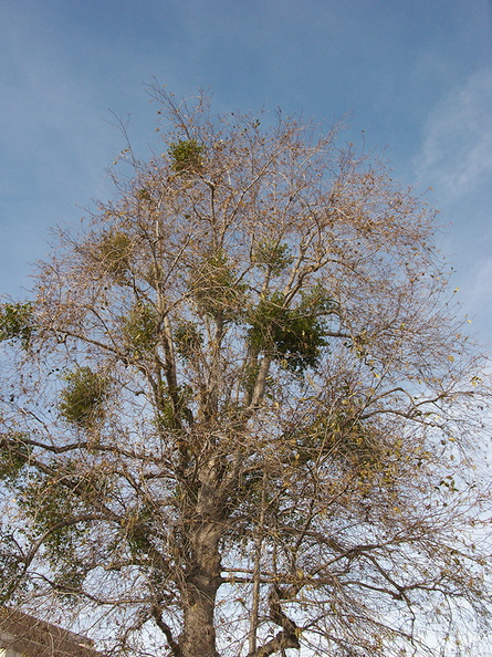 Phoradendron-in-leafless-sycamore-2013-01-29-IMG 3392