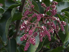 Rhus-ovata-sugarbush-in-bud-Moorpark-campus-2014-12-01-IMG 4272.