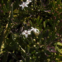 indet-sympetalous-5merous-white-flowered-ground-cover-Moorpark-College-2012-07-03-IMG 2184
