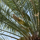date-palm-inflorescences-in-paper-bags-Oasis-Date-Gardens-Thermal-CA-IMG 1087