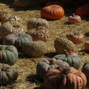 pumpkins-Underwood-Farms-2014-10-19-IMG 4164