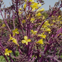 purple-cabbage-yellow-flowers-Underwood-Farms-2013-03-21-IMG 0373