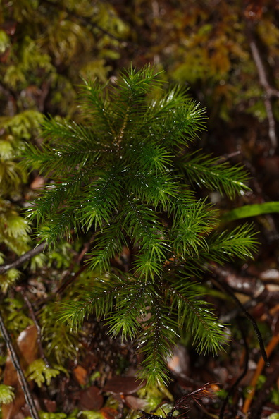 Dawsonia-like-moss-Nothofagus-beech-forest-Bealeys-Valley-Arthurs-Pass-2013-06-14-IMG 8247