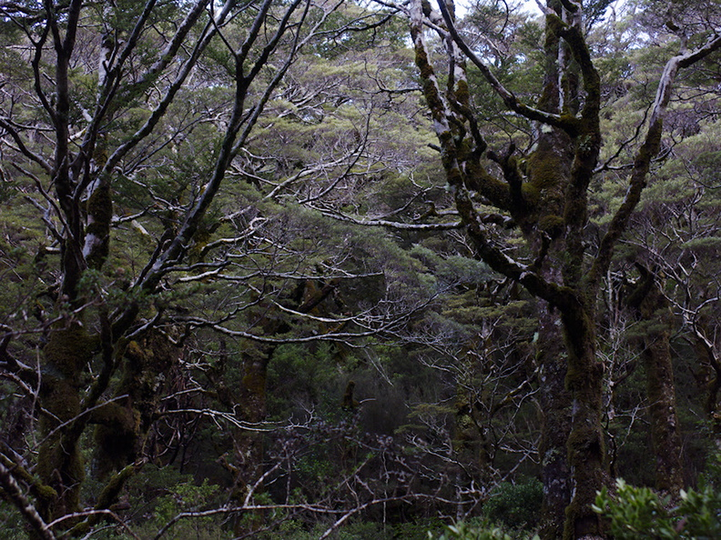 Nothofagus-beech-forest-Bealeys-Valley-Arthurs-Pass-2013-06-14-IMG 1520
