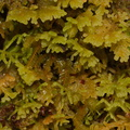 liverwort-Nothofagus-beech-forest-Bealeys-Valley-Arthurs-Pass-2013-06-14-IMG 8209