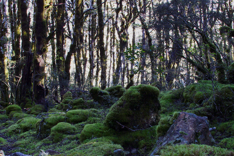 mossy-floor-of-Nothofagus-beech-forest-Bealeys-Valley-Arthurs-Pass-2013-06-14-IMG 1492