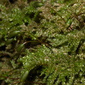 Dendrohypopterygium-sp-indet-moss-Waterfall-Gully-Track-Shakespear-ARC-Park-2013-07-22-IMG 9760