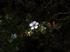 Leptospermum-scoparium-manuka-flower-Rangitoto-summit-26-07-2011-IMG 9519