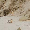 New-Zealand-dotterel-beach-at-Wenderholm-ARC-Reserve-2013-07-19-IMG 2724