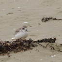 New-Zealand-dotterel-beach-at-Wenderholm-ARC-Reserve-2013-07-19-IMG 2728