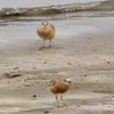 New-Zealand-dotterel-beach-at-Wenderholm-ARC-Reserve-2013-07-19-IMG 2737