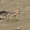 New-Zealand-dotterel-beach-at-Wenderholm-ARC-Reserve-2013-07-19-IMG 2742