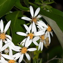 Olearia-tree-daisy-Rangitoto-summit-track-26-07-2011-IMG 3211