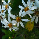 Olearia-tree-daisy-Rangitoto-summit-track-26-07-2011-IMG 9504