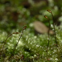 Ptychomnion-aciculare-indet-moss-Waterfall-Gully-Track-Shakespear-ARC-Park-2013-07-22-IMG 9753