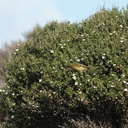 bellbirds-on-flowering-manuka-Leptospermum-Tokatu-Point-Tawharanui-2013-07-07-IMG 9092
