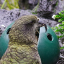 kea-parrot-Auckland-Zoo-2013-07-24-IMG 2861