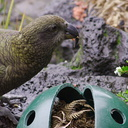kea-parrot-Auckland-Zoo-2013-07-24-IMG 2866