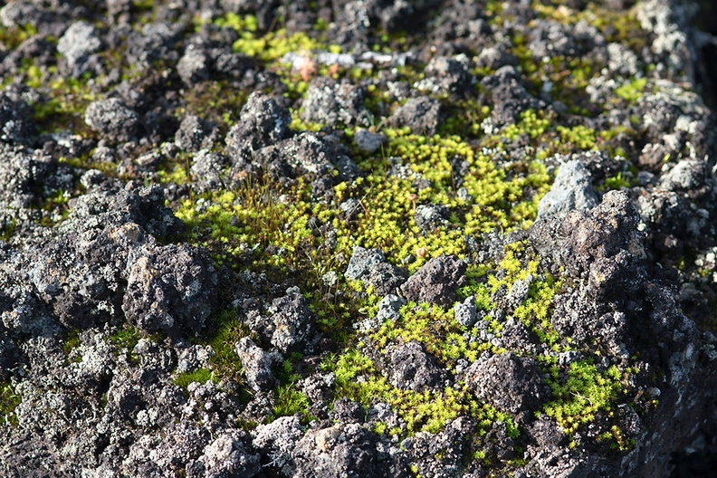 moss-early-successional-lava-rock-aa-Rangitoto-summit-track-26-07-2011-IMG_3275.jpg