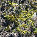 moss-early-successional-lava-rock-aa-Rangitoto-summit-track-26-07-2011-IMG 3275