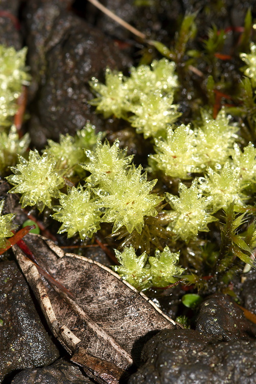 moss-light-green-closeup-Rangitoto-summit-track-26-07-2011-IMG 3191