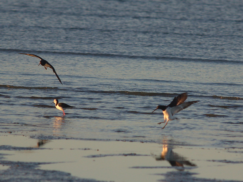 oystercatchers-and-pied-stilts-Rays-Rest-Miranda-Bird-Reserve-2013-07-01-IMG_8703.jpg