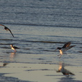 oystercatchers-and-pied-stilts-Rays-Rest-Miranda-Bird-Reserve-2013-07-01-IMG 8703
